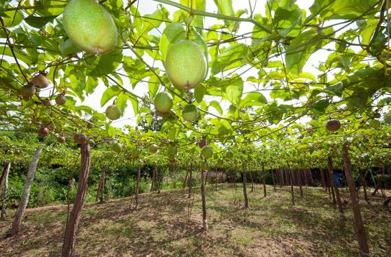 How to grow Passion Fruit yourself? | CANNA UK Sadnice