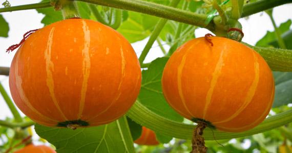 Grow It Yourself Pumpkin