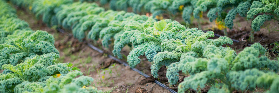 Grow it yourself: Kale