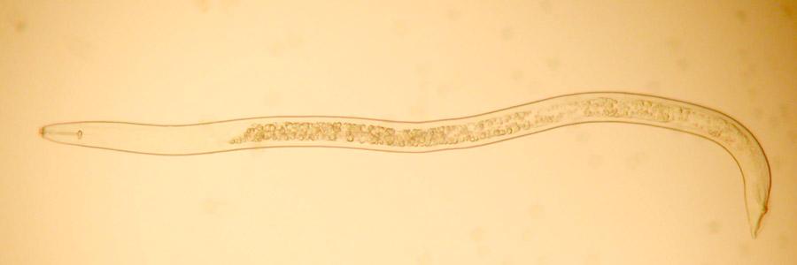 Nematodes and other worm-like creatures