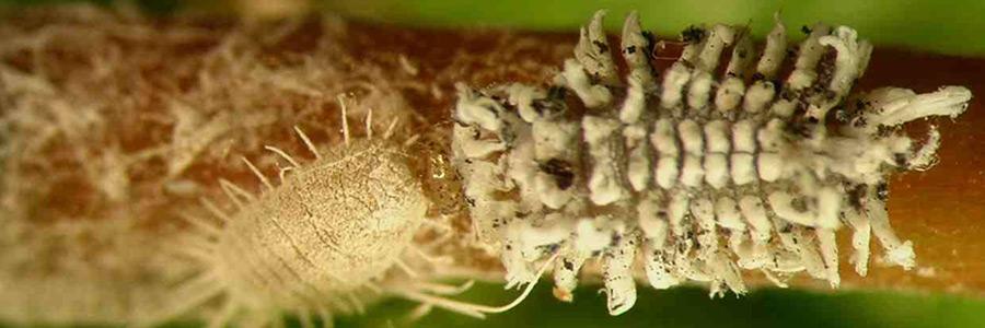 Pests & Diseases: Mealybugs