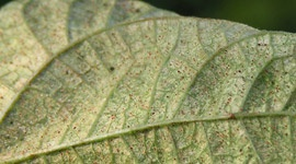 Spider mites - Pests & Diseases